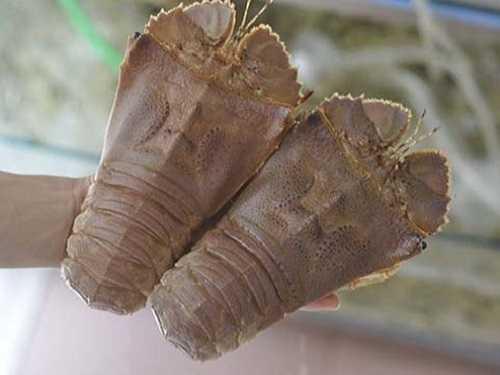 Giá tôm mũ ni sống bao nhiêu 1kg tại biển Quy Nhơn