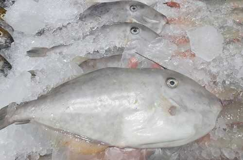 cá bò da giáp