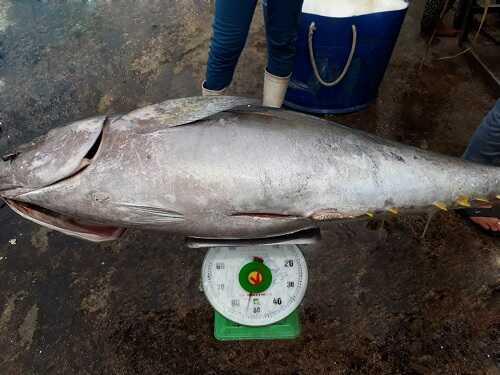 giá cá ngừ đại dương nguyên con