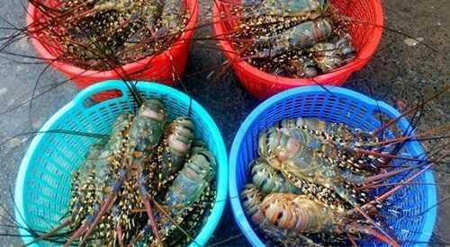 Giá tôm hùm xanh - bông - baby bao nhiêu 1 kg