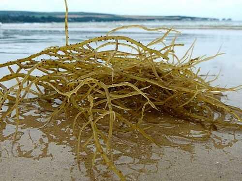 các loại rong biển ở việt nam - rau câu chỉ vàng
