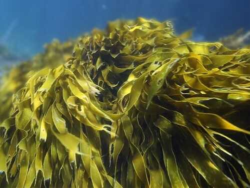 các loại rong biển ở việt nam - tảo bẹ